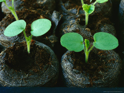 burrows-chris-pelargonium-seedlings-in-peat-pellets-february