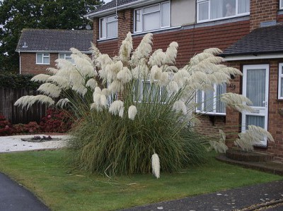 pampas-grass-swinging-i9_enl