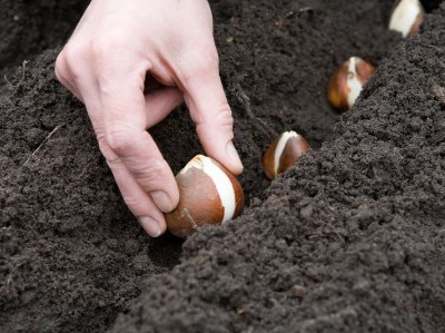 Planting bulbs, such as the tulips pictured here, is a fall task that you will appreciate having done come spring.
