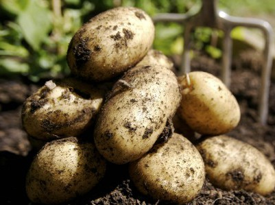 A small pile of potatoes freshly dug from the ground.