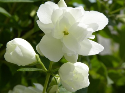 Philadelphus_Innocence
