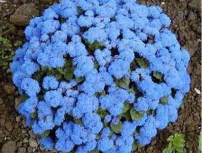 100pcs-lots-wholesale-Ageratum-Blue-Seeds