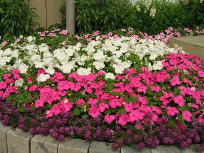 impatiens-walleriana-advantage-mix-n5080-3