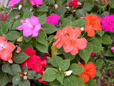 impatiens-water-indicators1