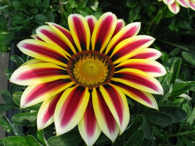 Gazania-Flower-Wallpaper-2